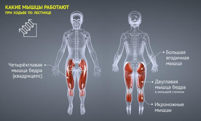 степпер какие мышцы работают