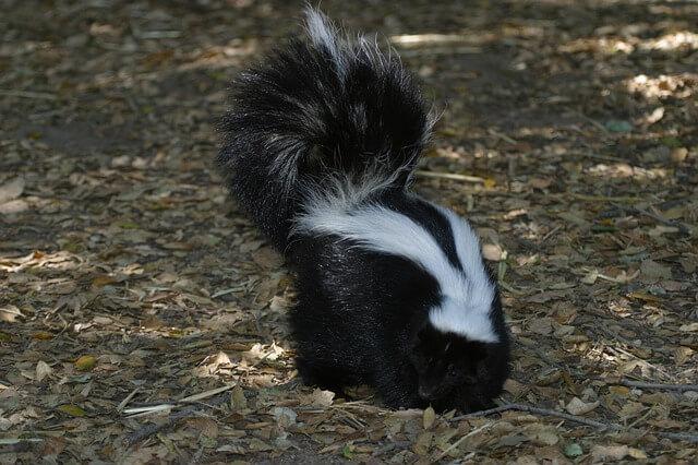 skunk-1591309_640