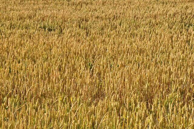 wheat-172510_640