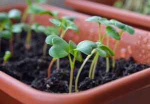 Микрозелень: огромная польза для красоты и фигуры